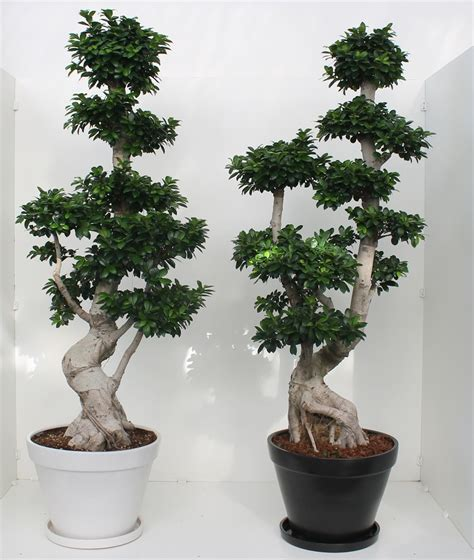 bonsai ficus ginseng 200 cm ceramic pot succulents cactus and bonsai florpagano di antonio