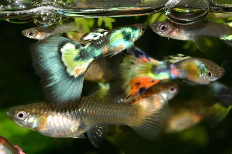 guppy fish proven to be cheap effective tool in fight