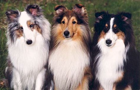 faq s shetland sheepdog club of rescue service