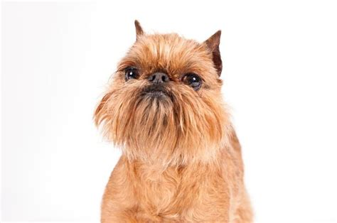 brussels griffon breed information brussels