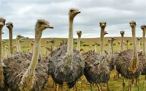 South Africa's Thriving Ostrich Industry | Henri Steenkamp