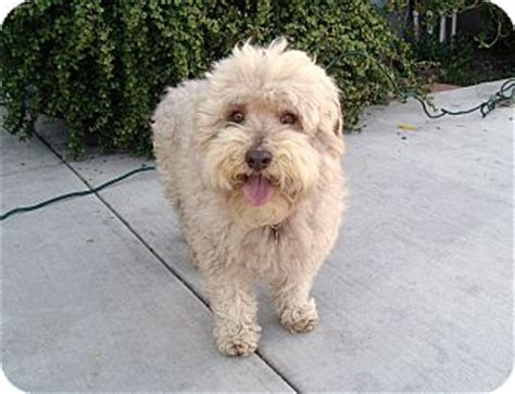 teddy i do not shed adopted yorba ca poodle miniature wheaten terrier mix