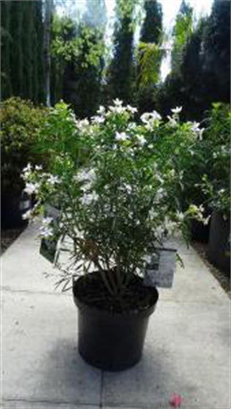 buy choisya aztec pearl mexican orange blossom shrub
