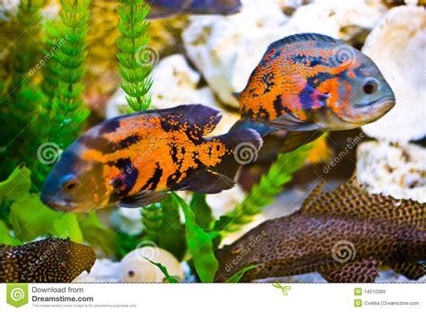 poissons d aquarium images libres de droits image 14510369