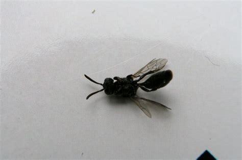 insecte volant xylophage