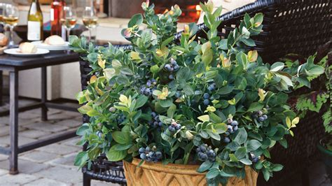 how to grow blueberries in pots grow beautifully