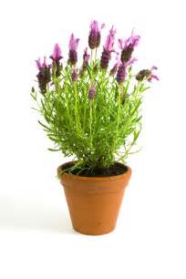 growing lavender in containers