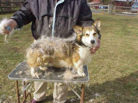 Do Pomskies Shed Fur by Corgi Shedding Corgi Guide