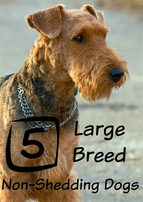 Big Low Shedding Dogs by Large Breeds That Don T Shed Dogvills