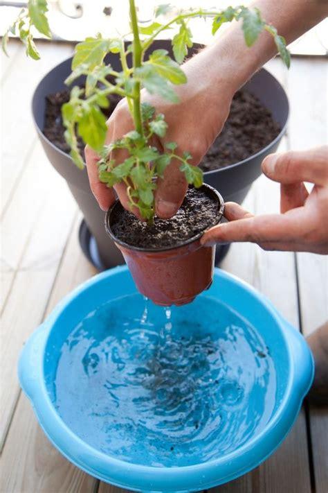 planter des tomates cerises en pot comment faire c 244 t 233 maison