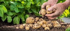 Kartoffeln Und Zwiebeln Lagern : kartoffeln richtig ernten und lagern bzfe ~ Markanthonyermac.com Haus und Dekorationen
