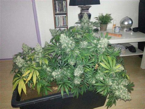 growing marijuana with led growshow