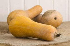 butternut semis culture et r 233 colte de la courge butternut