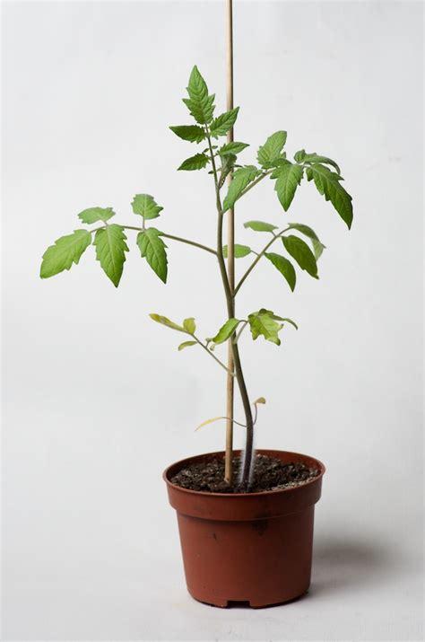 les semis poussent au potager en carr 233 s