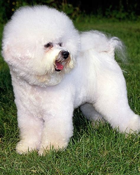 23 best images about bichon grooming on