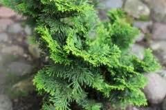 Lorbeer Gelbe Blätter : muschelzypresse wird braun woran kann 39 s liegen ~ Markanthonyermac.com Haus und Dekorationen