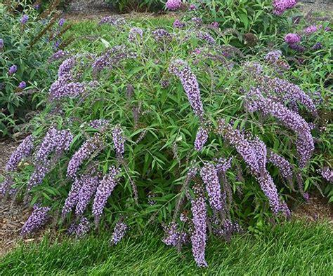butterfly bush shrubs and butterflies on