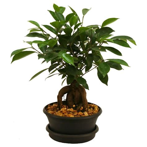 delray plants ficus bonsai 6 in plastic pot 6bonsaibowlficus the home depot