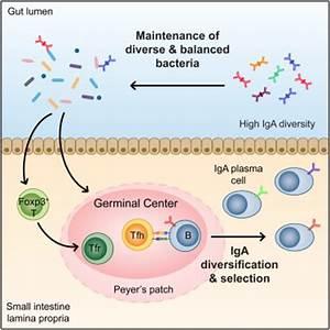 Foxp3+ T Cells Regulate Immunoglobulin A Selection and ...