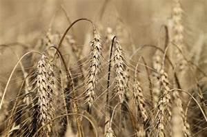 Monsanto says sabotage may be behind Oregon GMO wheat - NY ...