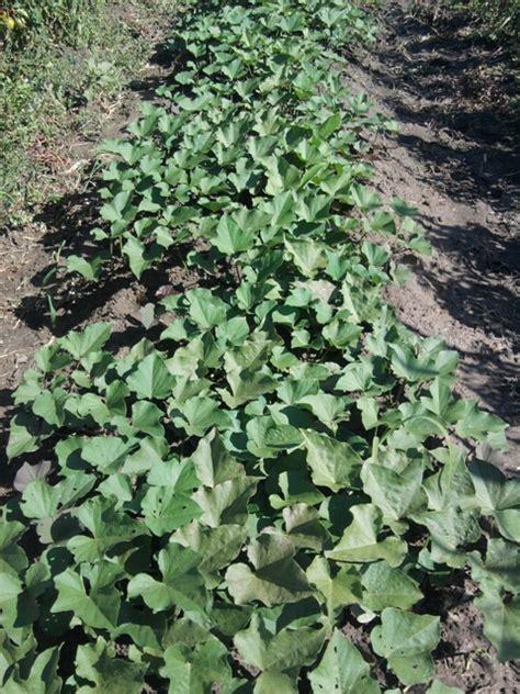 la culture des patates douces par le bio popo au jardin forum de jardinage