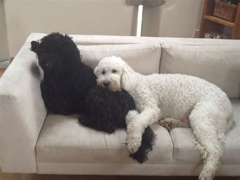 Non Shedding Small Dogs For Adoption by Maltipoo Puppies Ready Now Non Shedding Breed For Sale